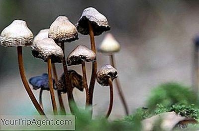 ¿puedes comer más hongos para obtener un mejor viaje?